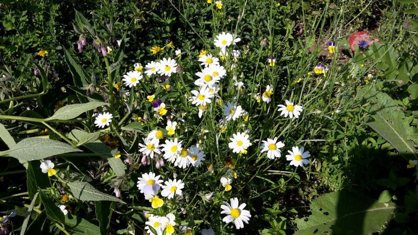 Kamille in Rosmarie's Kräutergarten in Irschen